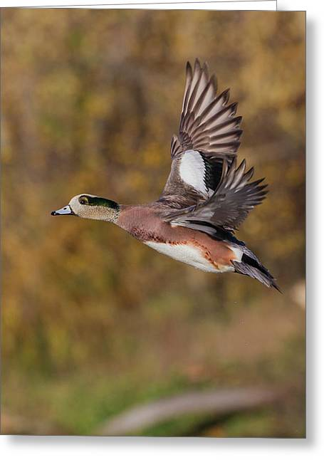 American Wigeon Drake Greeting Card by Ken Archer