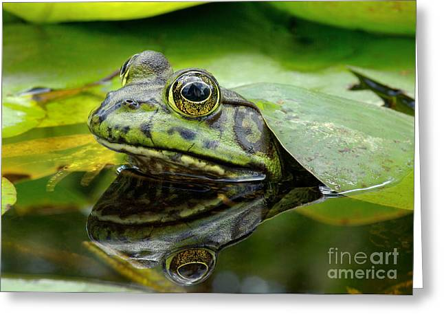An American Bullfrog. Photo Taken In Greeting Card
