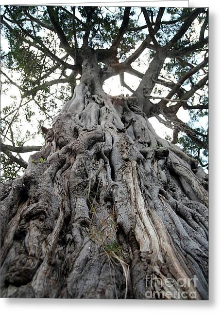 Ancient Olive Tree In The Masai Mara Greeting Card