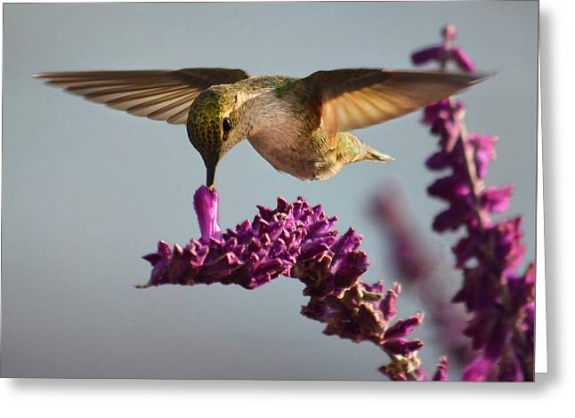 Anna's Hummingbird Sipping Nectar From Salvia Flower Greeting Card
