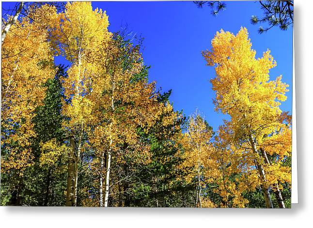 Arizona Aspens In Fall 1 Greeting Card