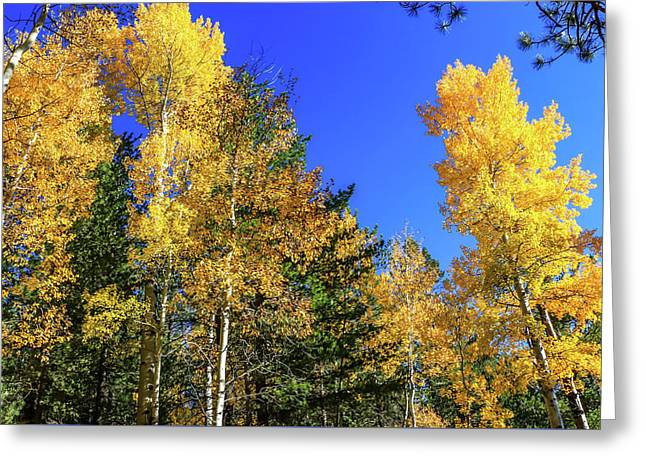 Arizona Aspens In Fall 1 Greeting Card