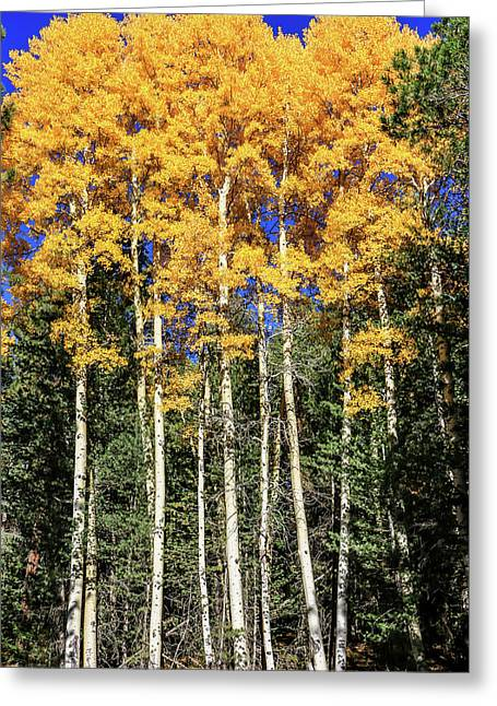 Arizona Aspens In Fall 3 Greeting Card