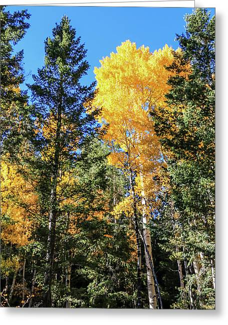 Arizona Aspens In Fall 5 Greeting Card