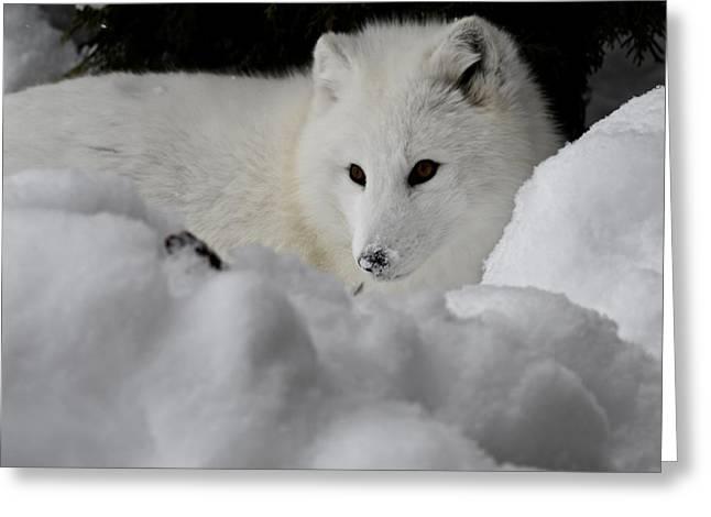 Artic Fox Greeting Card