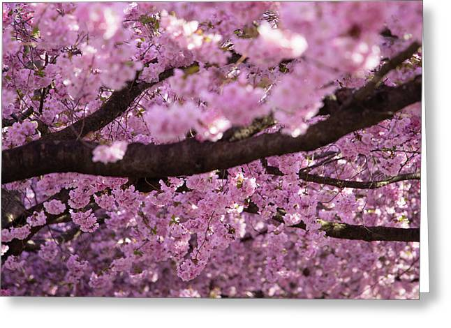 Cherry Blossom Tree Panorama Greeting Card