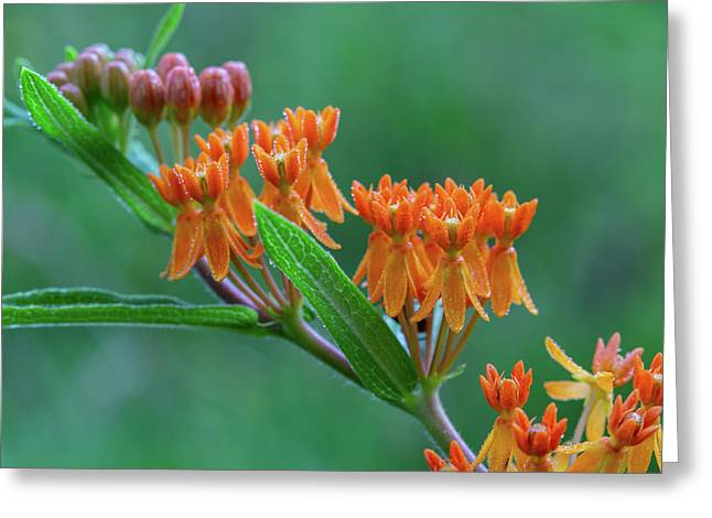 Greeting Card featuring the photograph Asclepias Tuberosa by Dale Kincaid