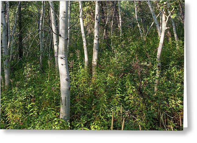 Greeting Card featuring the photograph Aspen Solitude by Lon Dittrick