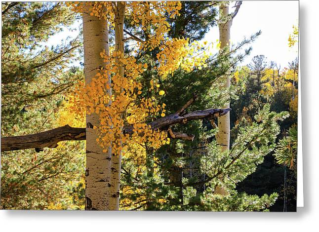 Aspen Tree Close Greeting Card