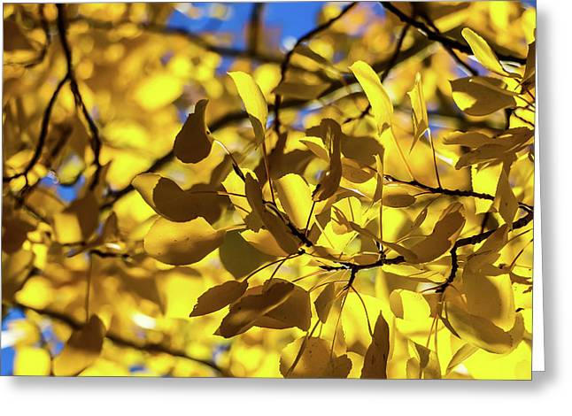 Aspens Up Close Greeting Card