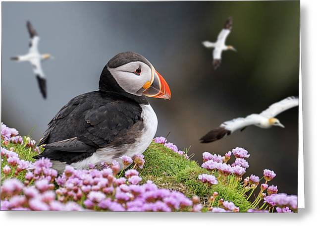 Atlantic Puffin And Soaring Gannets Greeting Card