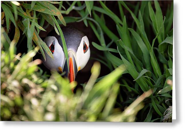 Greeting Card featuring the photograph Atlantic Puffin In Burrow by Elliott Coleman