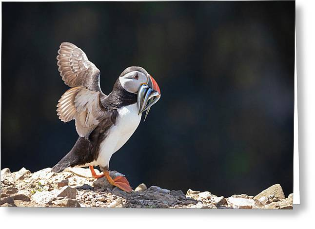 Atlantic Puffin With Sand Eels Greeting Card