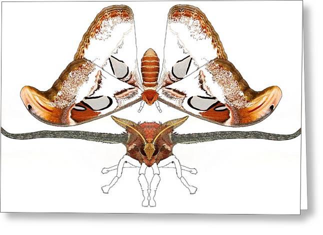 Atlas Moth2 Greeting Card