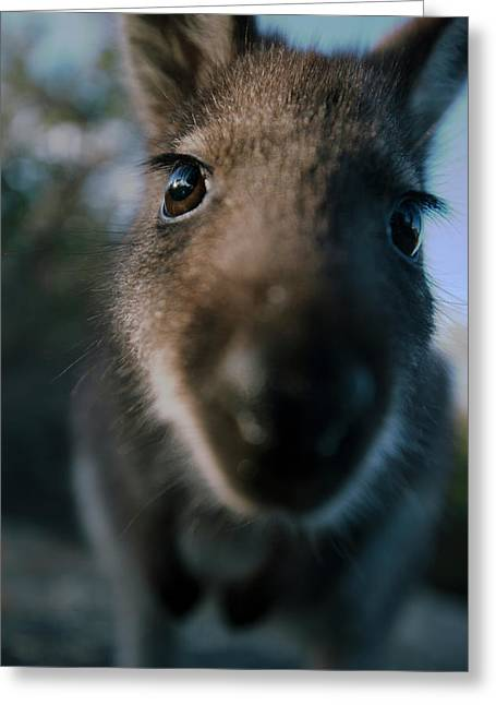 Australian Bush Wallaby Outside During The Day. Greeting Card