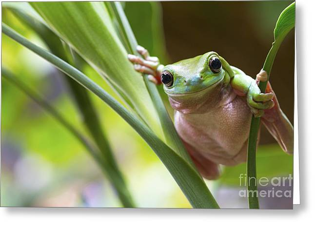 Australian Green Tree Frog On A Leaf Greeting Card by Andrew Lam