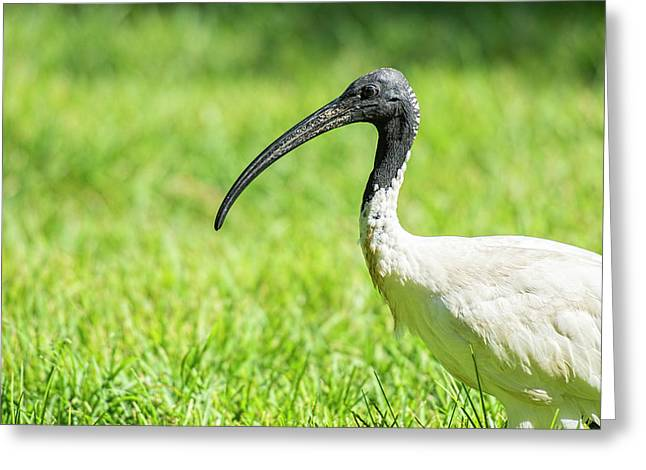 Greeting Card featuring the photograph Australian White Ibis by Rob D Imagery