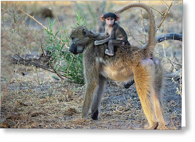 Baboon And Baby Greeting Card