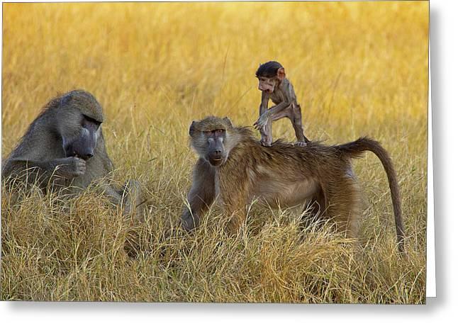 Baboons In Botswana Greeting Card