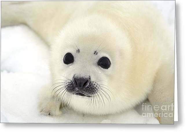Baby Harp Seal Pup On Ice Of The White Greeting Card by Vladimir Melnik