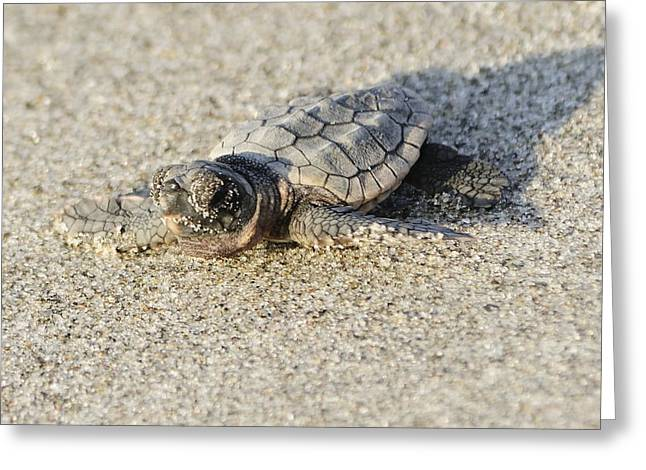 Greeting Card featuring the photograph Baby Loggerhead Sea Turtle by Bradford Martin