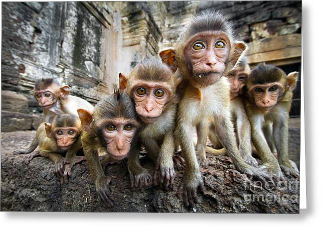 Baby Monkeys Are Curious,lopburi Greeting Card