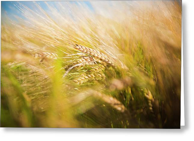 Background Of Ears Of Wheat In A Sunny Field. Greeting Card