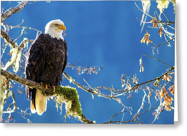 Backlit Bald Eagle In Squamish Greeting Card