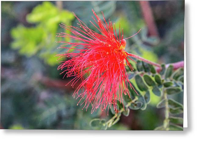Baja Fairy Duster Greeting Card
