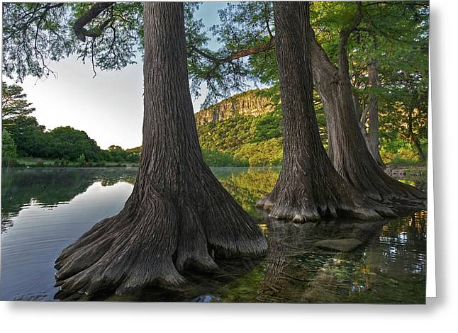 Bald Cypress Trees In River, Frio Greeting Card