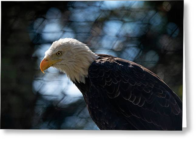 Bald Eagle Grandfather Mountain Greeting Card