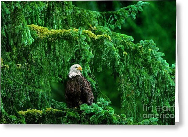 Bald Eagle In Temperate Rainforest Alaska Endangered Species Greeting Card