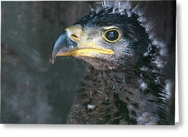 Bald Eaglet Greeting Card