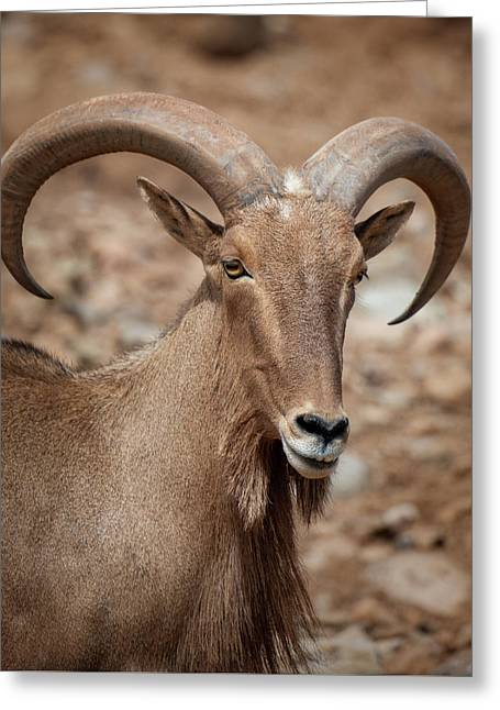 Barbary Sheep Portrait Greeting Card