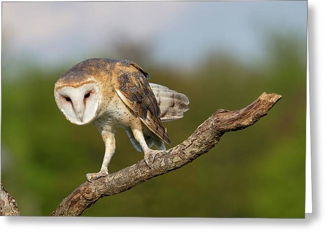 Greeting Card featuring the photograph Barn Owl 5151801 by Rick Veldman