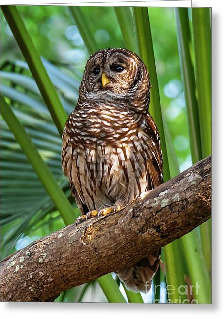 Barred Owl On Perch Greeting Card