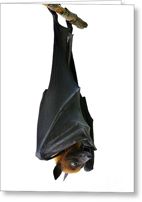 Bat, Hanging Lyles Flying Fox Isolated Greeting Card