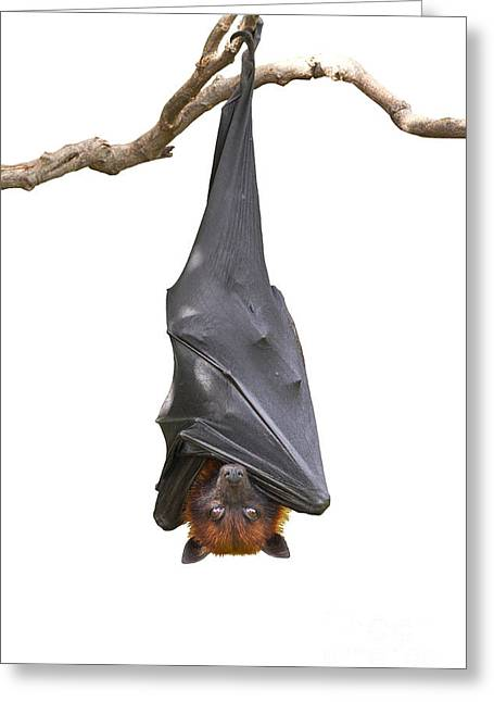 Bat,lyles Flying Fox Pteropus Greeting Card
