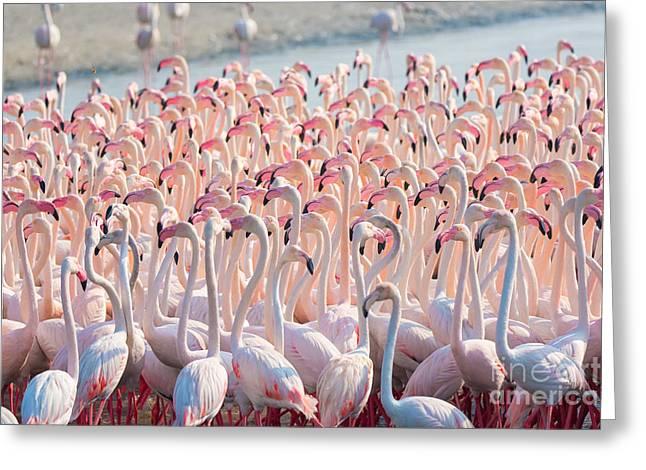 Beautiful And Wild - Flamingos Greeting Card
