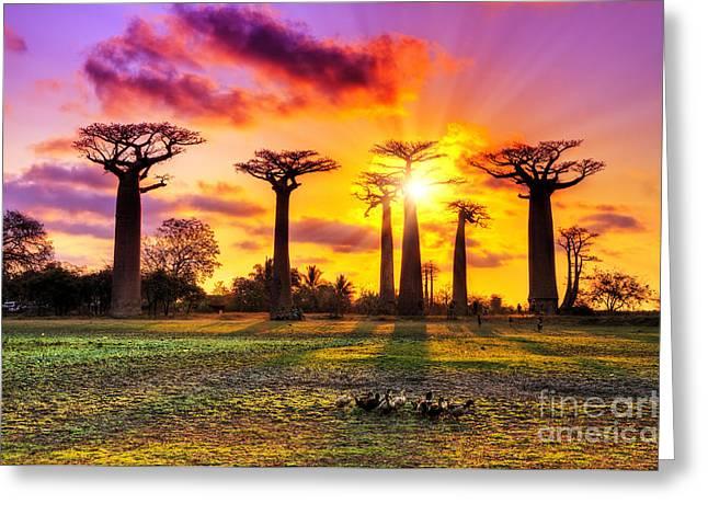 Beautiful Baobab Trees At Sunset At The Greeting Card
