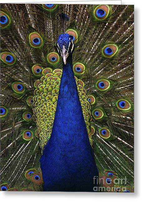 Beautiful Bird, Male Of Indian Peacock Greeting Card