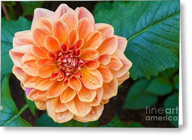 Beautiful Dahlia Flower And Water Drop Greeting Card