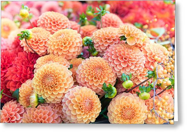 Beautiful Dahlia Flowers For Sale At Greeting Card