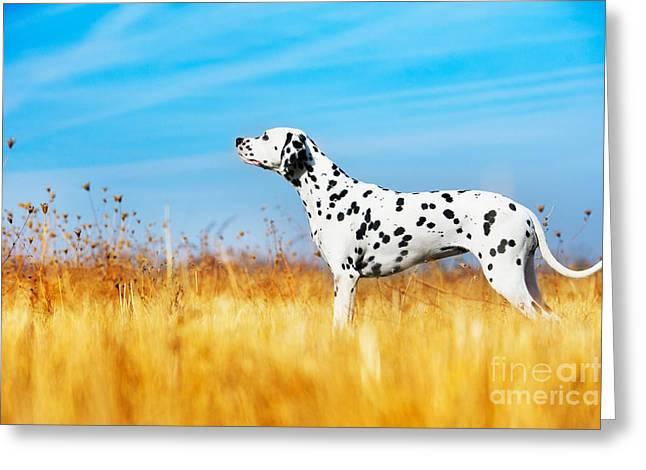Beautiful Dalmatian Dog In A Field Greeting Card