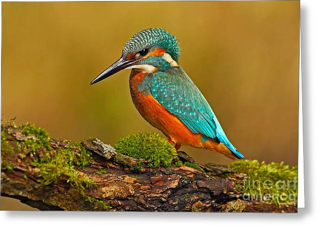 Beautiful Kingfisher With Clear Green Greeting Card