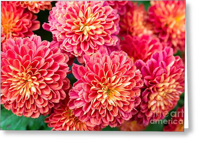 Beautiful Of Red Garden Dahlia Flower Greeting Card