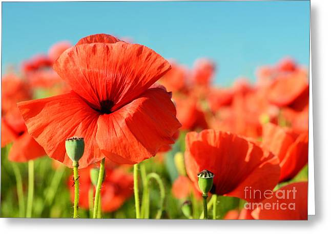 Beautiful Poppies Bloom Amidst Poppy Greeting Card