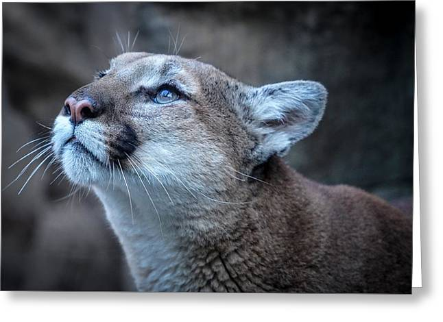 Beautiful Puma Greeting Card