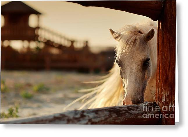 Beautiful, Quiet, White Horse Waits In Greeting Card
