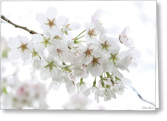 Beautiful White Cherry Blossoms Greeting Card